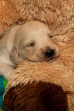 Very young Puppy sleeping Royalty Free Stock Images