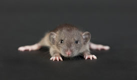 Very young rat. Portrait of a very young rat on a black background Stock Photos
