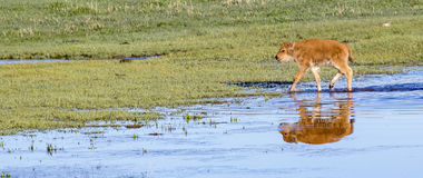 Very young red dog bison calf with water reflection Stock Images