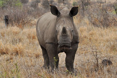 Very young rhino looking into camera. Photo taken in Kruger national park in South Africa royalty free stock images