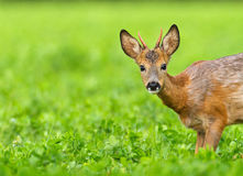 Very young roe deer. Buck looking into the frame from the right, in a field of clover Stock Images