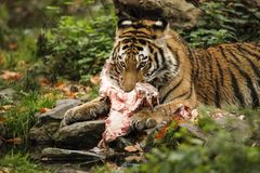 A very joung tiger from Siberia is holding a meat. Royalty Free Stock Photography