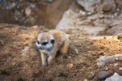 A very young suricate pup standing on the sand Suricata suricat. Ta Royalty Free Stock Images