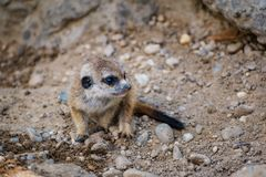 A very young suricate pup standing on the sand Suricata suricat. Ta Royalty Free Stock Photography