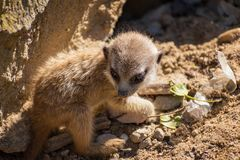 A very young suricate pup standing on the sand Suricata suricat. Ta Stock Photography