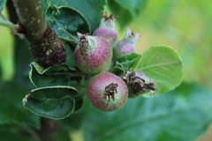 A very young Top red apple  fruit on the branches, macro photographyphotography, in the garden. A very young Top red apple fruit on the branches, macro stock images