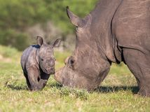 Baby Rhino or Rhinoceros Royalty Free Stock Images