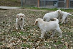 Very young Yellow Labrador Retriever Puppies playing outside for the first time stock photo