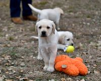 Very young Yellow Labrador Retriever Puppies playing outside for the first time stock image