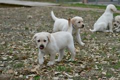 Very young Yellow Labrador Retriever Puppies playing outside for the first time royalty free stock images