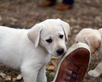Very young Yellow Labrador Retriever Puppies playing outside for the first time stock photography