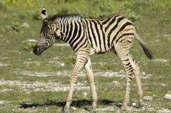 Baby Zebra in Africa Stock Image
