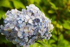 Verzacht blauwe hydrangea hortensia met een blauw hart: de gevoelige bloemblaadjes in groene bladeren, knop bestaat uit kleine bl royalty-vrije stock fotografie