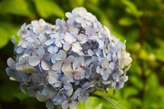 Verzacht blauwe hydrangea hortensia met een blauw hart: de gevoelige bloemblaadjes in groene bladeren, knop bestaat uit kleine bl stock foto's