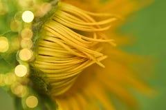 Verzacht, bloeiende gele echinaceabloem royalty-vrije stock afbeeldingen