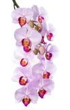 Verzacht de roze orchidee is geïsoleerd op een wit royalty-vrije stock foto's