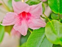 Verzacht maar mooie roze bloem in volledige bloeizomer in de Provence royalty-vrije stock afbeeldingen