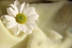 Verzacht witte kamille op een gele doekachtergrond Macro hoogste mening Één bloem van witte chrysant is op gele dichte doek, stock foto