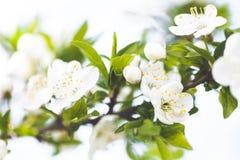 Verzacht witte pruimbloesems die in de de lentetuin bloeien op achtergrond van blauwe hemel royalty-vrije stock foto