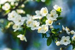 Verzacht witte pruimbloesems die in de de lentetuin bloeien op achtergrond van blauwe hemel stock fotografie