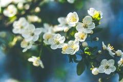 Verzacht witte pruimbloesems die in de de lentetuin bloeien op achtergrond van blauwe hemel stock afbeeldingen