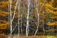 Verzadigd geel gebladerte in de herfst royalty-vrije stock foto