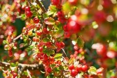 Verzadigde rode bessen met groene bladeren royalty-vrije stock foto