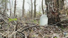 Verzamel berksap in het bos de drank in een glaskruik druipt stock videobeelden