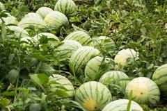 Verzamel rijpe watermeloenen op het landbouwbedrijf stock afbeelding