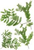 Verzamelde die Dawn Redwood-takjebladeren van macro op witte bedelaars wordt geïsoleerd stock foto's