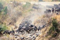Verzamelen zich het meest wildebeest op de banken van de Mara rivier stock afbeelding