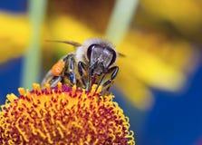 Verzamelt de insect macrobij stuifmeel op een bloem (selectieve nadruk) Royalty-vrije Stock Afbeelding