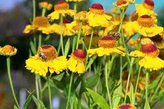 Verzamelt de insect macrobij stuifmeel op een bloem (selectieve nadruk) Royalty-vrije Stock Afbeeldingen