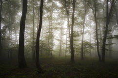Verzauberter Wald mit mysteriösem Nebel Stockfotografie