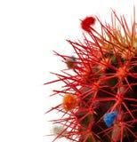 Verzierte rote Nadeln des Kaktus auf weißem Hintergrund Lizenzfreie Stockfotos