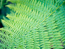 Verzierung des Farnblattes, symmetrisches diagonales Muster, neues Grün Stockbilder