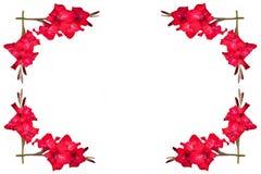 Verzierung von roten Gladioluses mit freiem Raum für Text auf einem Weiß Stockfotos