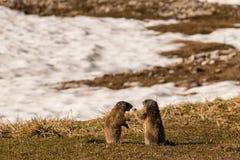 Verzorgende alpiene marmotten Stock Afbeeldingen
