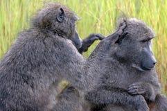 Verzorgende baviaan. Stock Foto
