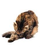 Verzorgende kat Royalty-vrije Stock Foto