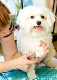 Verzorgende Maltese hond Stock Foto's