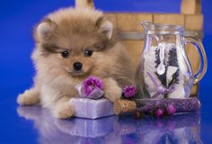 Verzorgende puppyspitz stock afbeelding