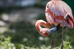 Verzorgende Roze Flamingo Stock Foto