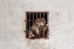 Verzweifelnder Affe in einem Käfig Lizenzfreie Stockfotografie