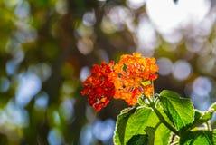 Verzweigen sich der blühende Busch Stockbilder