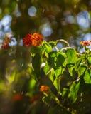 Verzweigen sich der blühende Busch Stockbild