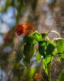 Verzweigen sich der blühende Busch Stockfoto