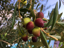 Verzweigen Sie sich auf Olive Tree mit reifenden Oliven Lizenzfreies Stockfoto