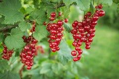 Verzweigen Sie sich mit Beeren der roten Johannisbeere Lizenzfreie Stockfotografie