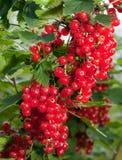 Verzweigen Sie sich mit Beeren der roten Johannisbeere. Schließen Sie oben an einem sonnigen Tag Stockbild